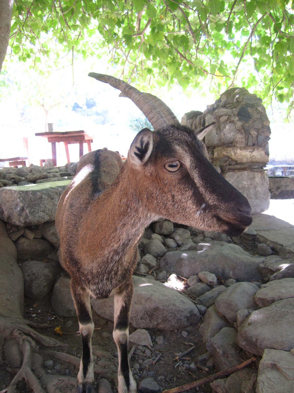 Kri Kri wild goat Samaria 12 - SAMARIA